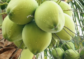 Ben Tre coconut industry - promoting the same aspirations in the world